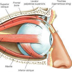 שרירי העיניים